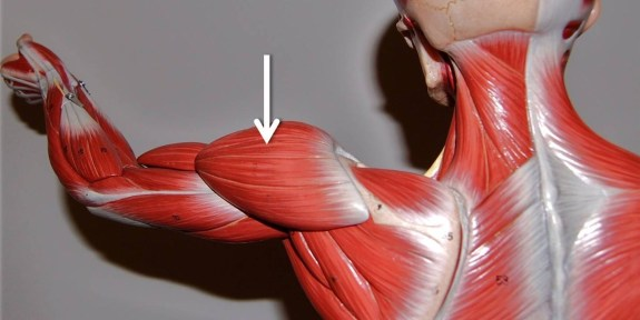 muscle-deltoid-copy